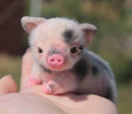 aaff8cdc99f7bec59b49ad1627071f75--small-pigs-baby-piglets.jpg